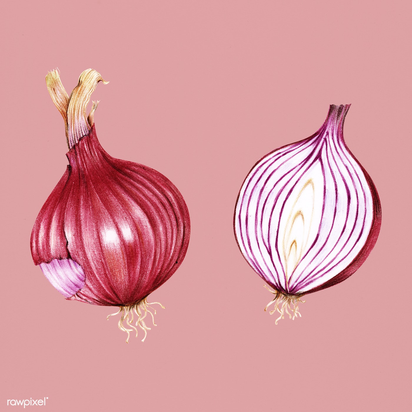 Hand drawn red onion illustration | Royalty free stock ...