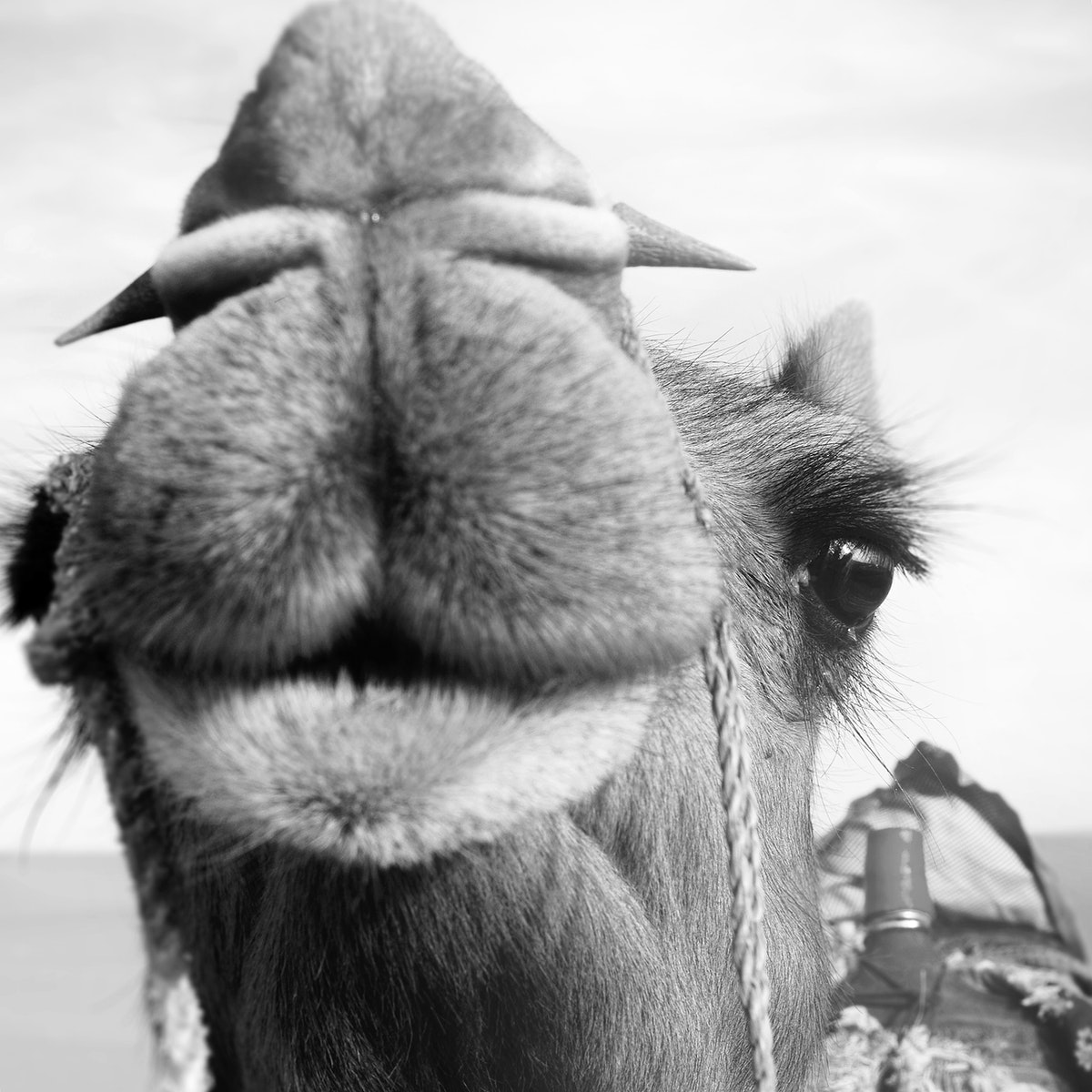 Closeup of camel grayscale