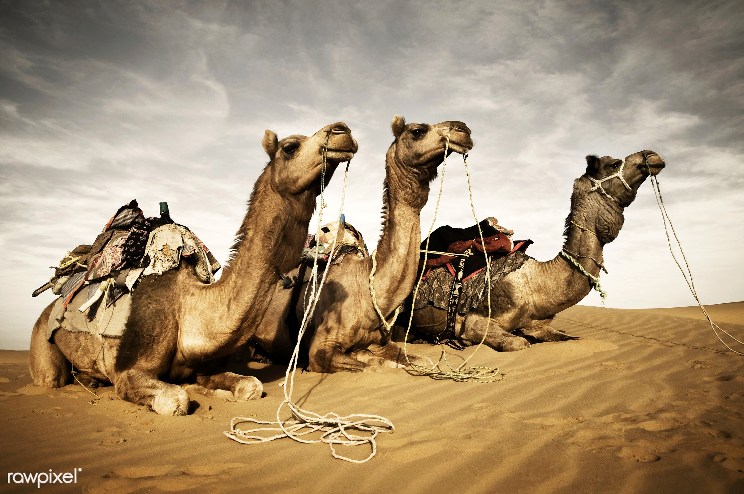 Camels resting in the Thar desert, Rajasthan, India - ancient, animal, animal themes, arabia, camel, carved letters,...
