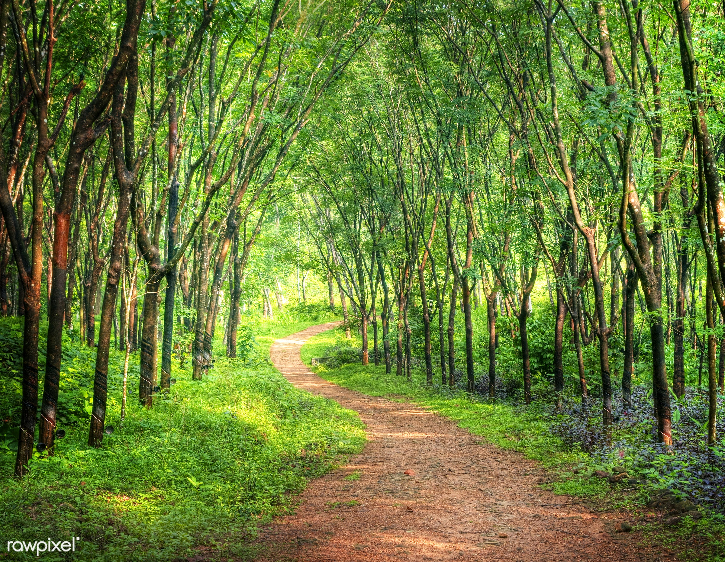 Enchanting forest lane in a rubber tree plantation, Kerela, India. - forest, rubber tree, beauty in nature, branch, bush,...