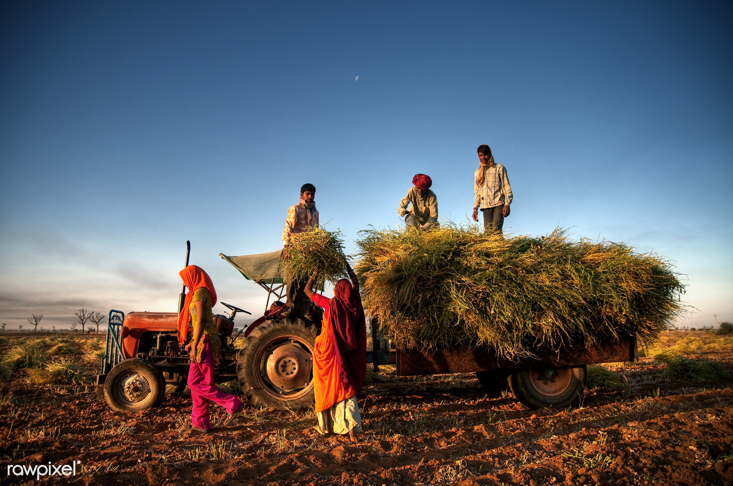 Family harvesting crops, near Jaipur, India - action, agriculture, asia, cereal plant, crop, dirt, earth, family, farm...