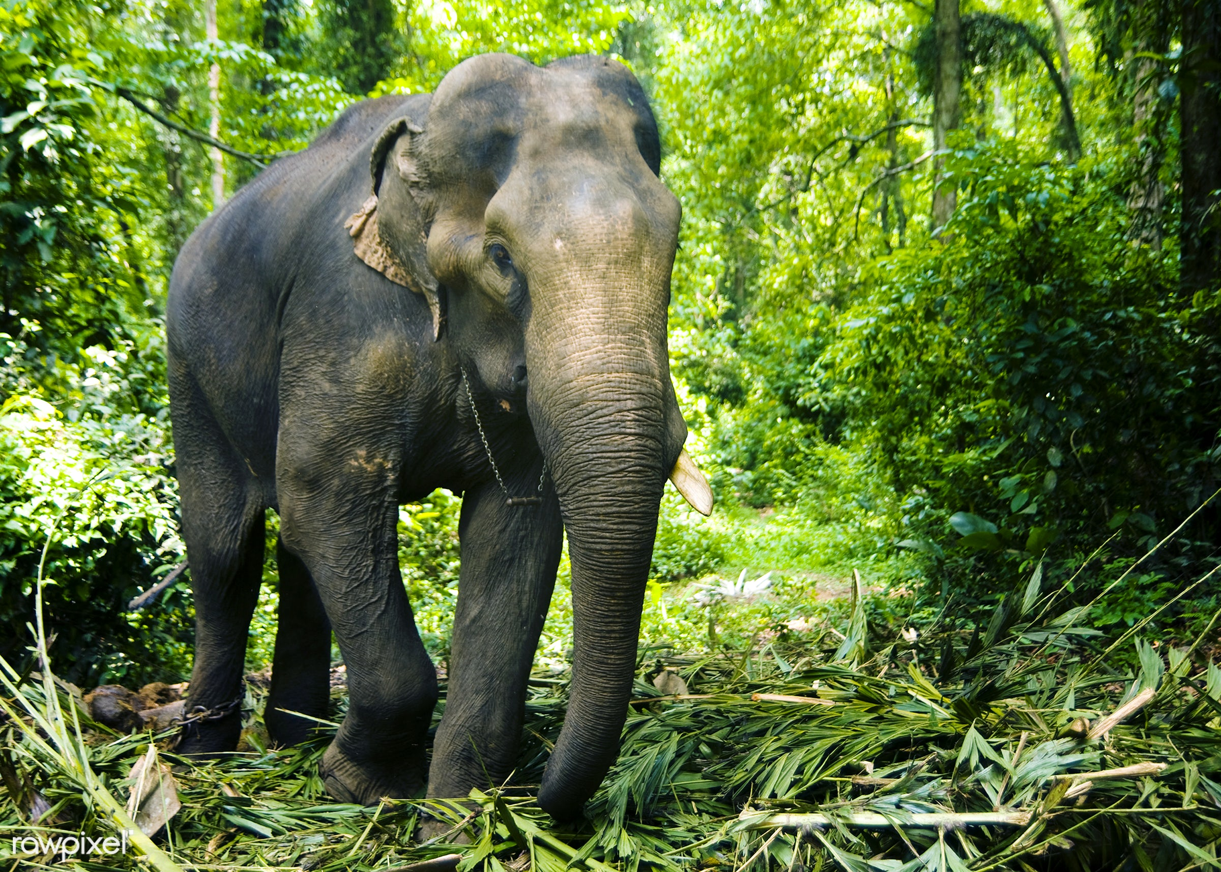 Elephant working in the forest, Kerala, India. - elephant, activity, agriculture, animal, animal skin, animals, animals and...