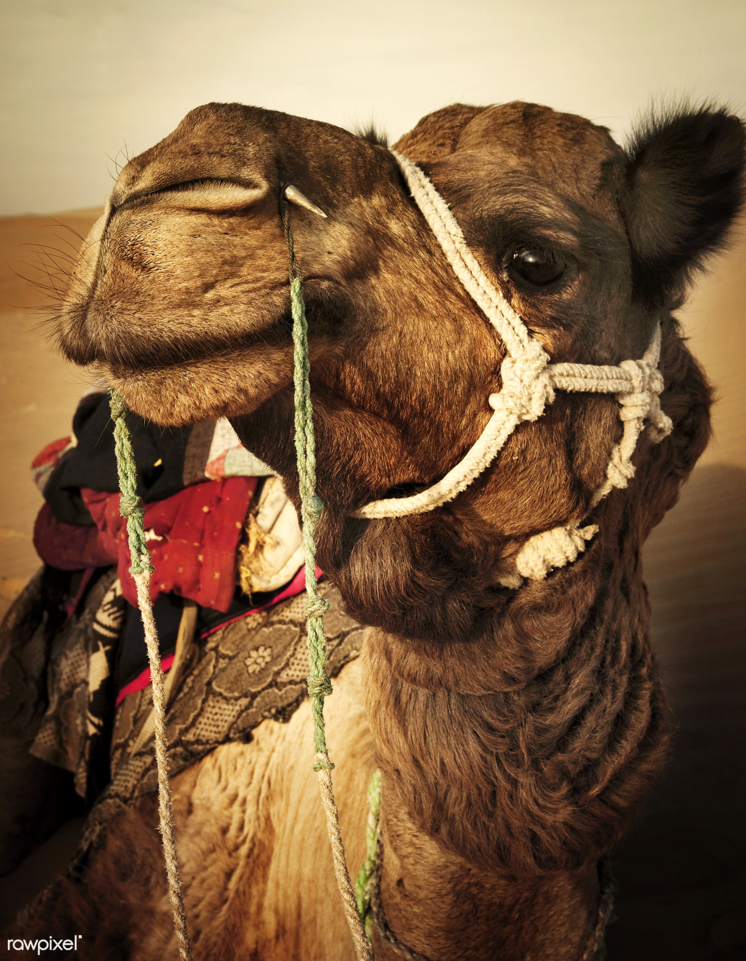 Johnie the Camel in the Thar Desert, Rajasthan, India - ancient, animal, animal themes, arabia, camel, carved letters,...