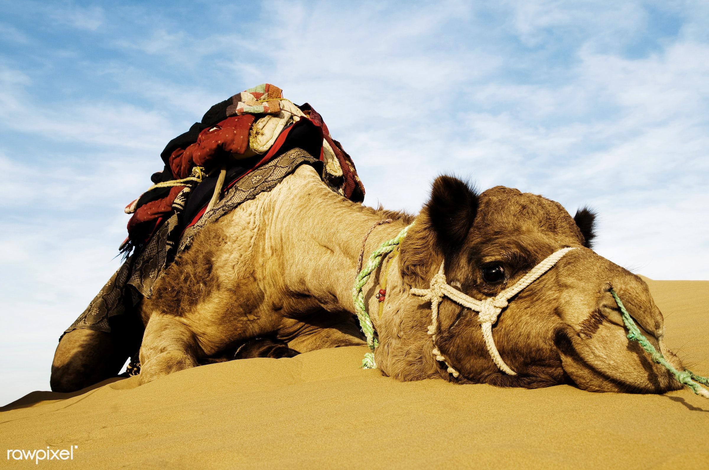Johnnie the cutest camel. Dromedary camel in the Thar Desert, Rajasthan, India - adventure, animal, animal head, asia,...