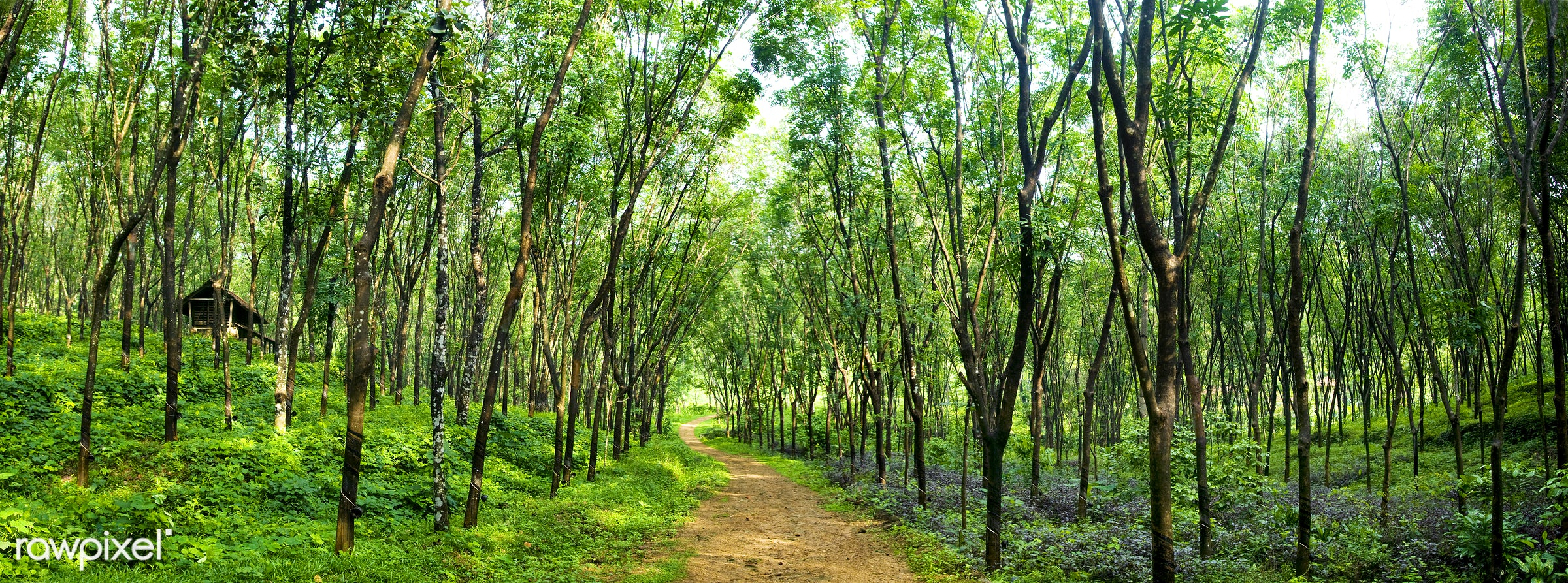 Enchanting forest lane in a rubber tree plantation, Kerela, India. - road, landscape, nature, beauty in nature, branch, bush...