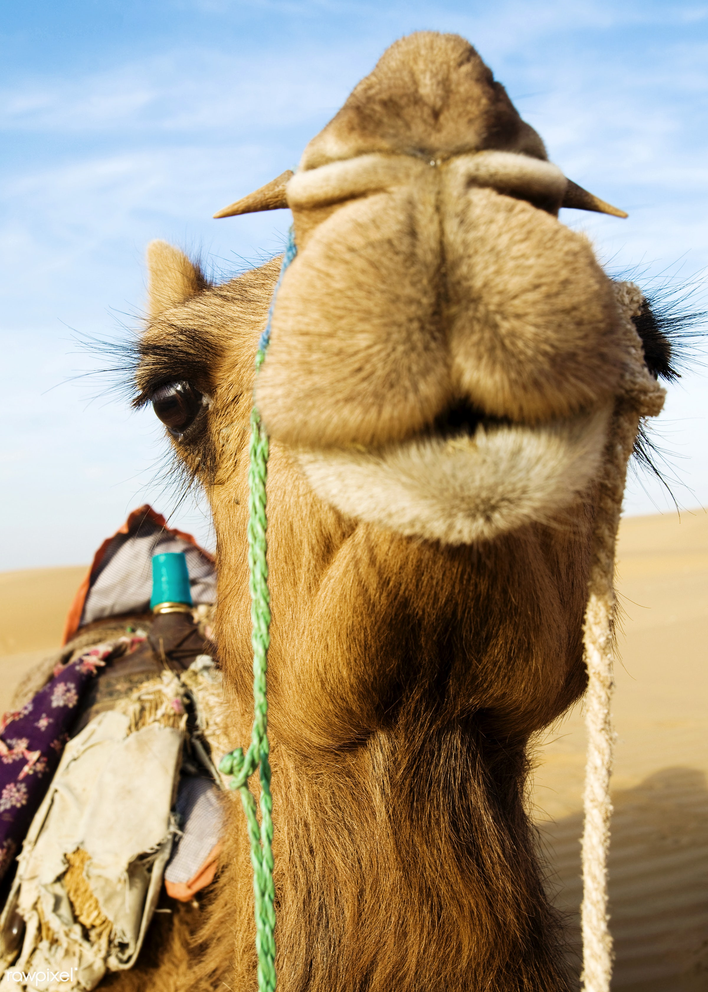 Johnie the Camel in the Thar Desert, Rajasthan, India - ancient, animal, animal themes, arabia, blue, camel, carved letters...