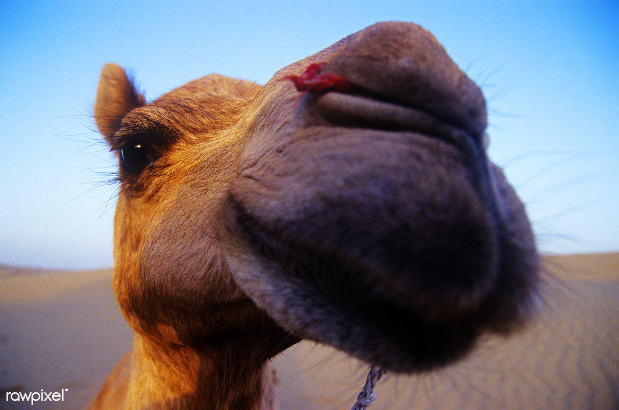 Happy camel in the desert, Rajasthan - ancient, animal, animal themes, arabia, blue, camel, carved letters, cheerful, close...