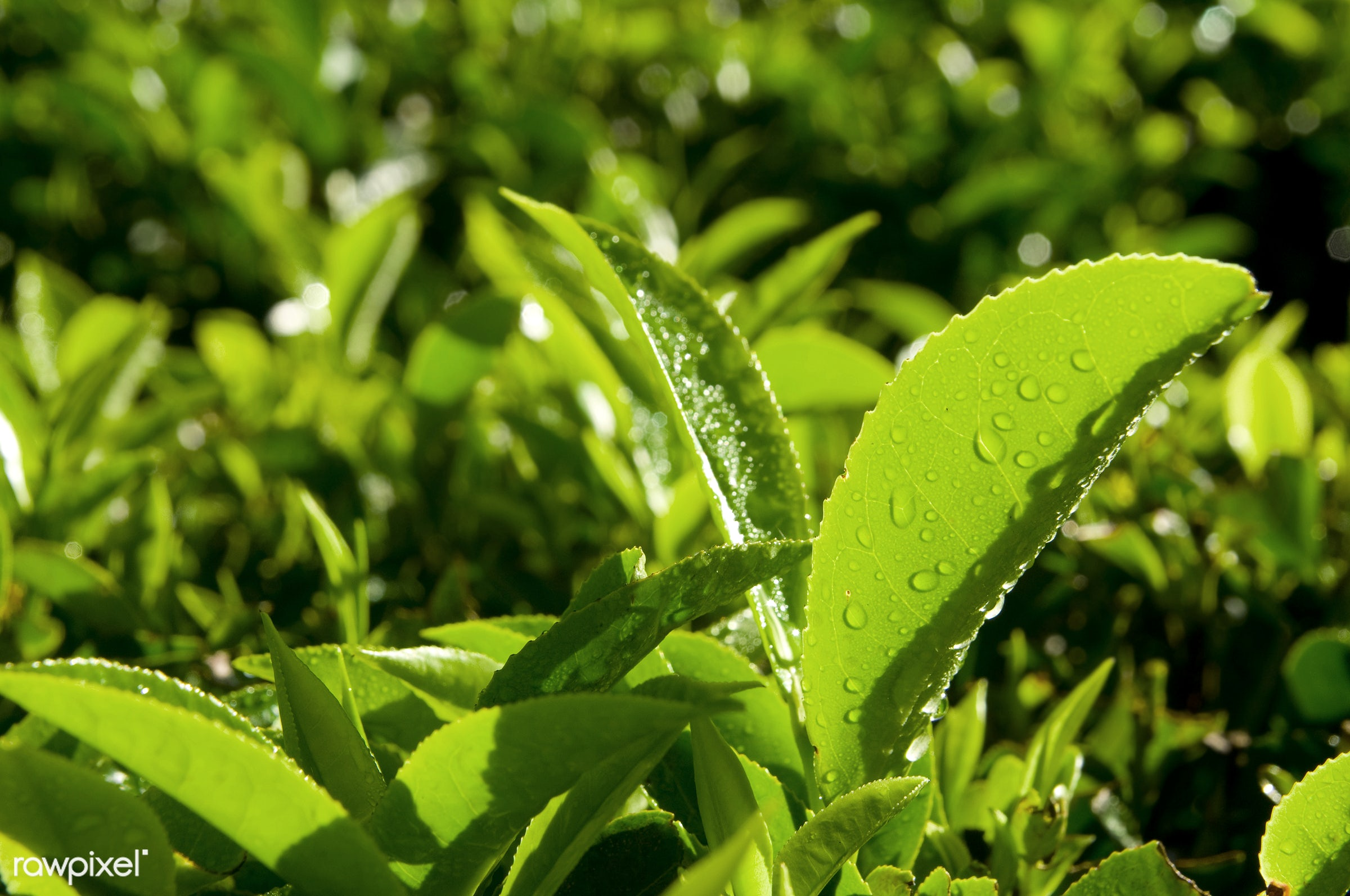 Close up of fresh tea growing on a plantation in India - leaf, farm, growth, indian, green tea, agriculture, asia, beauty in...