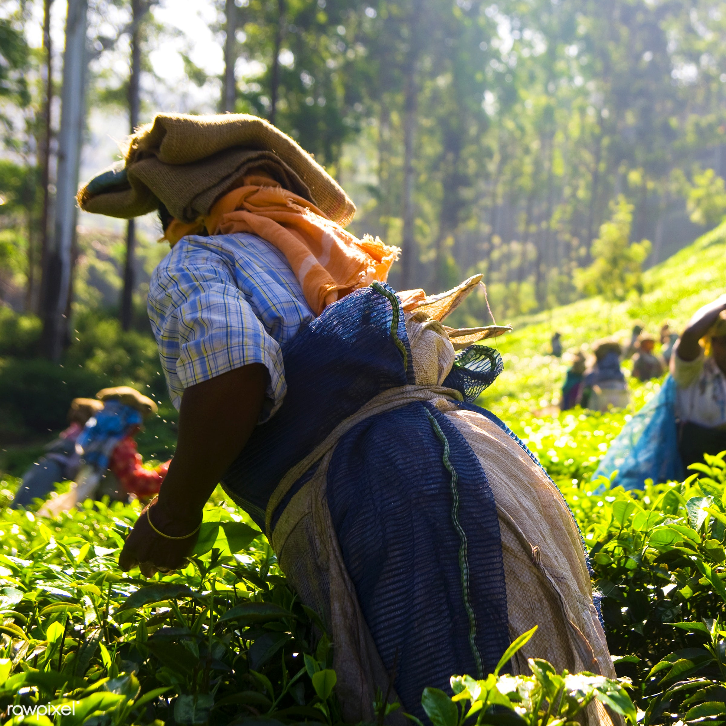 Tea pickers working at Kerela India. - harvesting, agriculture, asian culture, asian ethnicity, bright, bush, collection,...