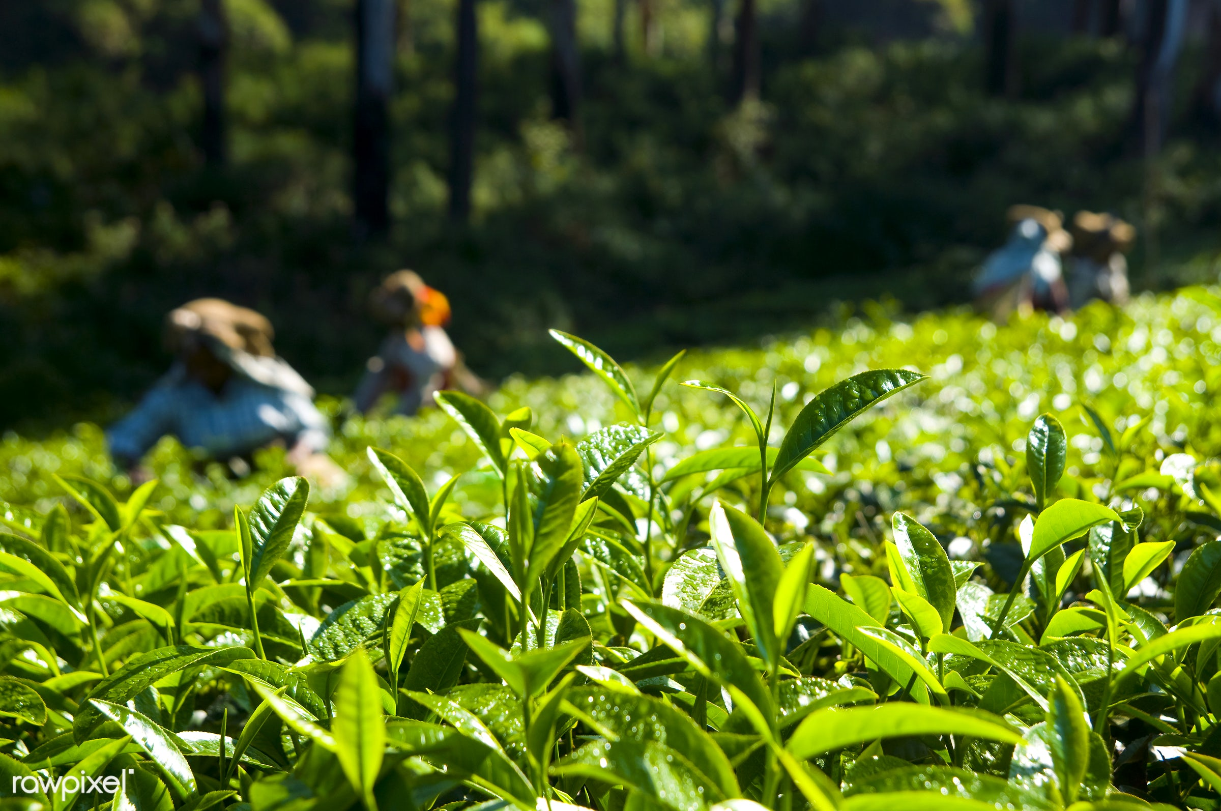 Tea pickers working at Kerela India. - landscape, plantation, herb, farm, agriculture, asian culture, asian ethnicity,...