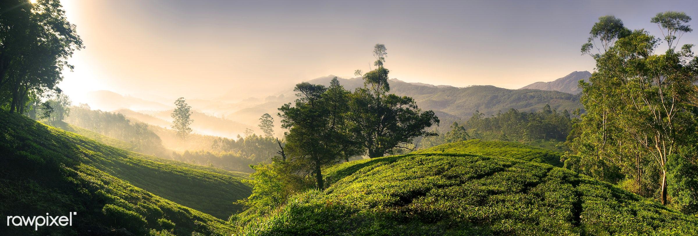 Panorama of a tea plantation at sunrise, Kerela, India - landscape, mountain, forest, tree, plant, field, nature, farm, sky...