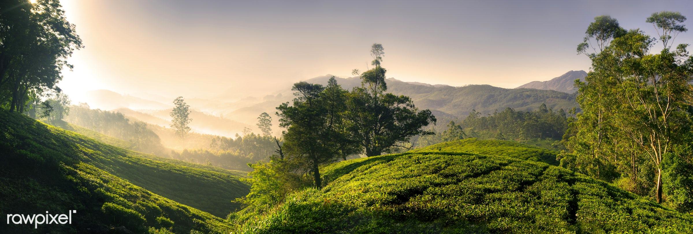 Panorama of a tea plantation at sunrise, Kerela, India - agriculture, awe, beauty, black tea, bright, cloudscape, day,...