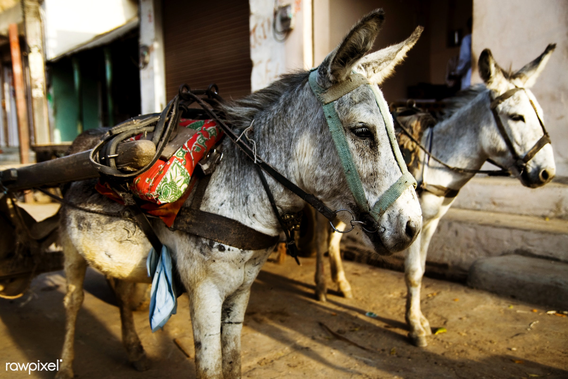 Donkeys waiting to bring tourists up and down the hills - carrying, animal, asia, classical, cute, day, decoration,...