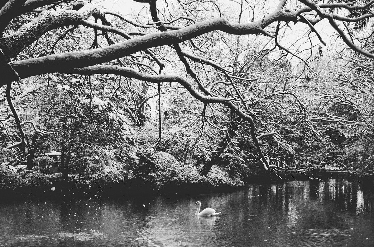 Swan in the lake with tree branches in snowing scenic grayscale