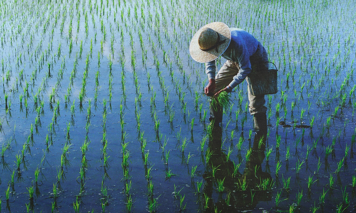 Farmer planting rices in the field