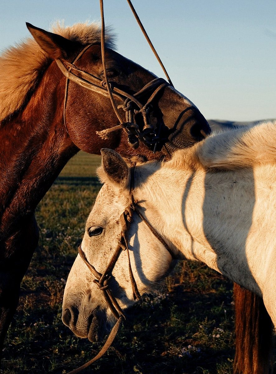Closeup of two horses in the field