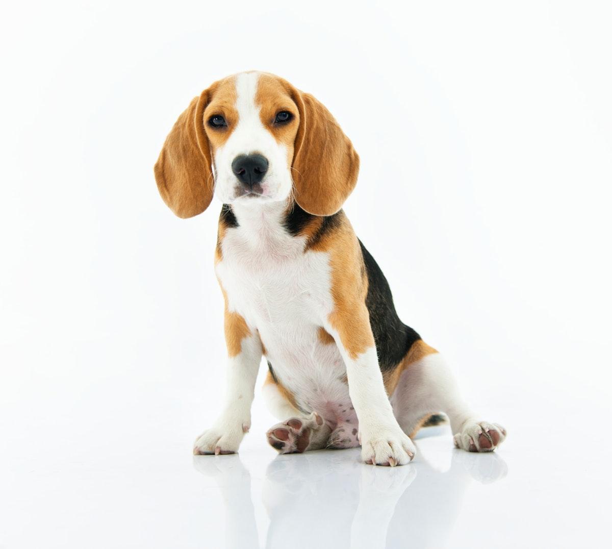 Beagle dog sitting with white background