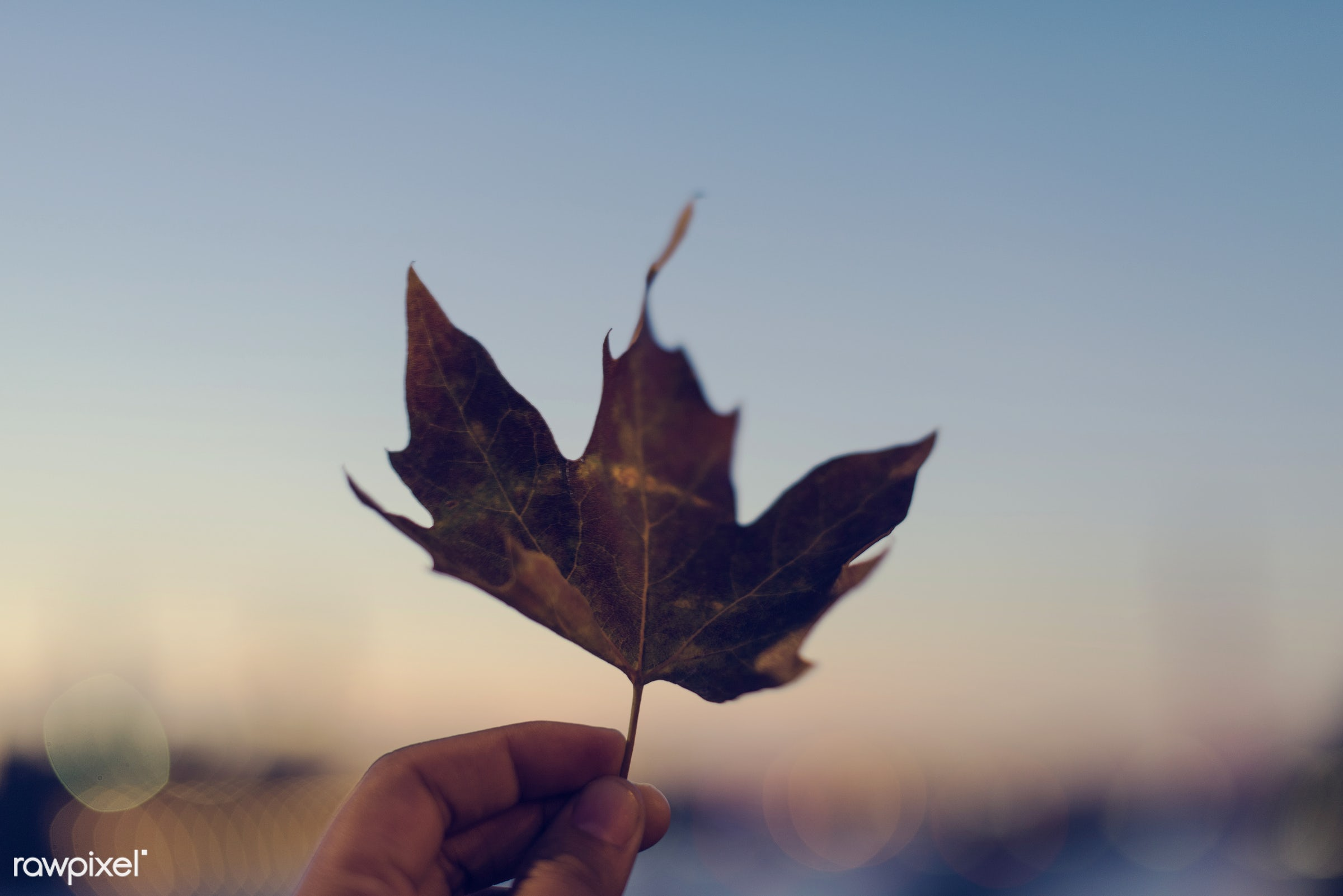 autumn, autumn leaves, beautiful, botanical, botany, defoliation, dry, fade, fall, falling, falling leaves, foliage, forest...