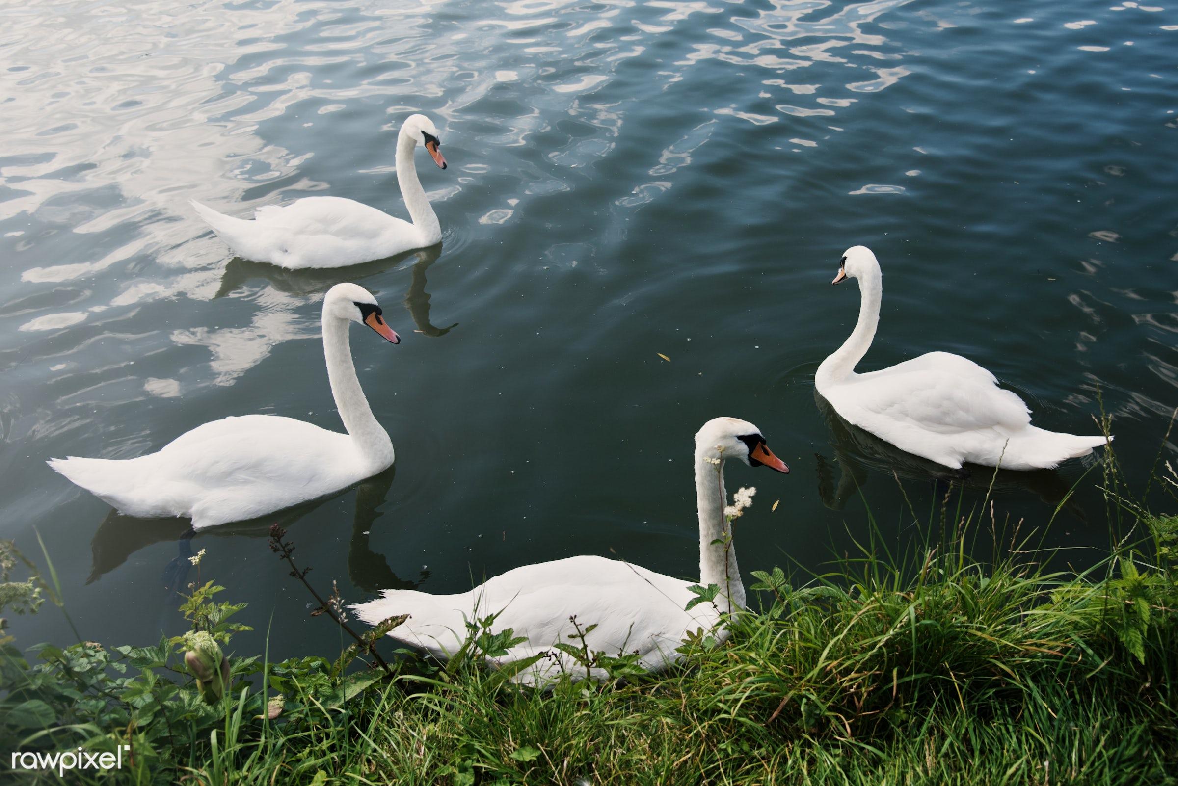animal, beautiful, beauty, bird, couple, elegance, elegant, floating, flock, grace, lake, long neck, love, natural, nature,...