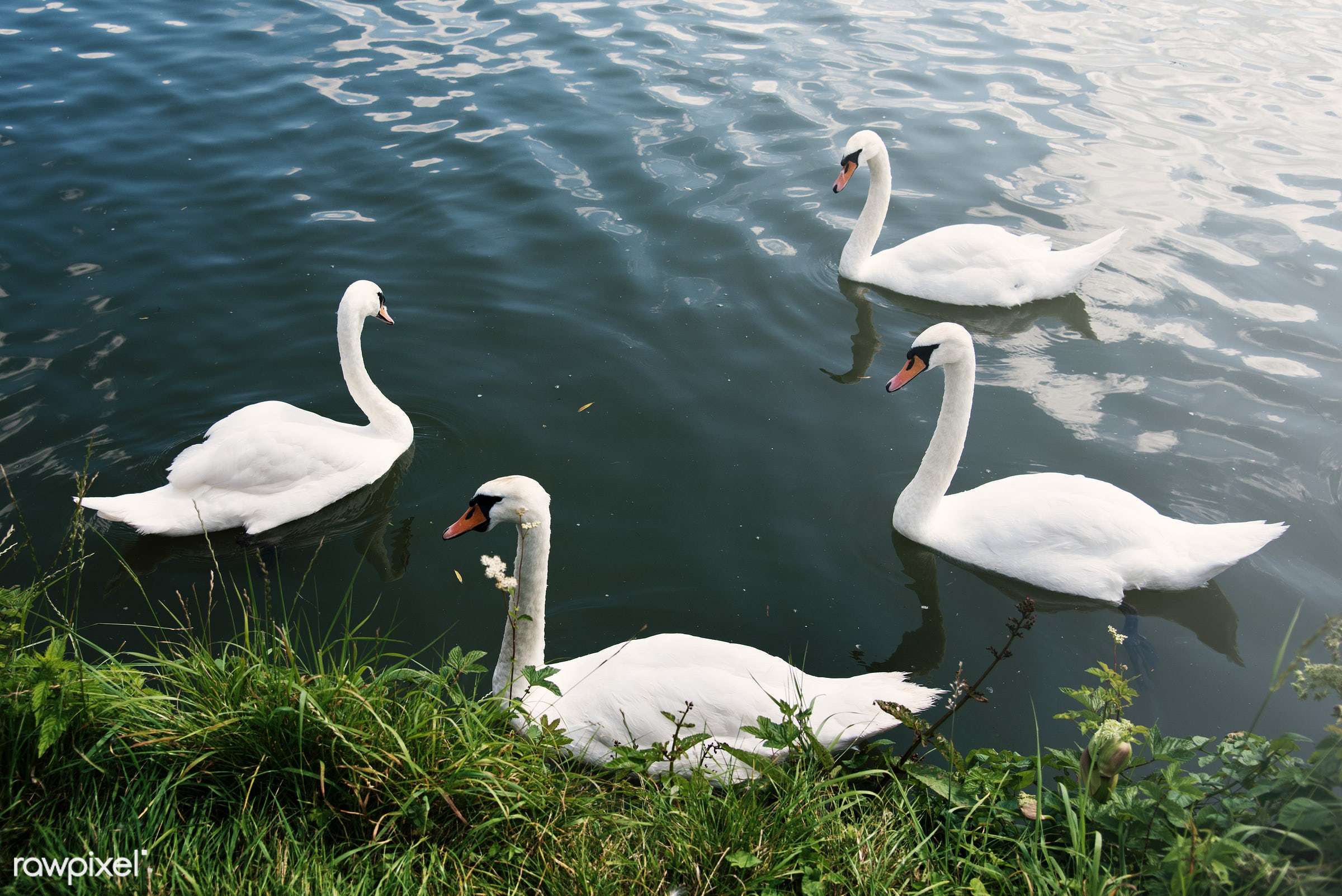 animal, beautiful, beauty, bird, couple, elegance, elegant, floating, flock, grace, graceful, grass, lake, long neck, love,...