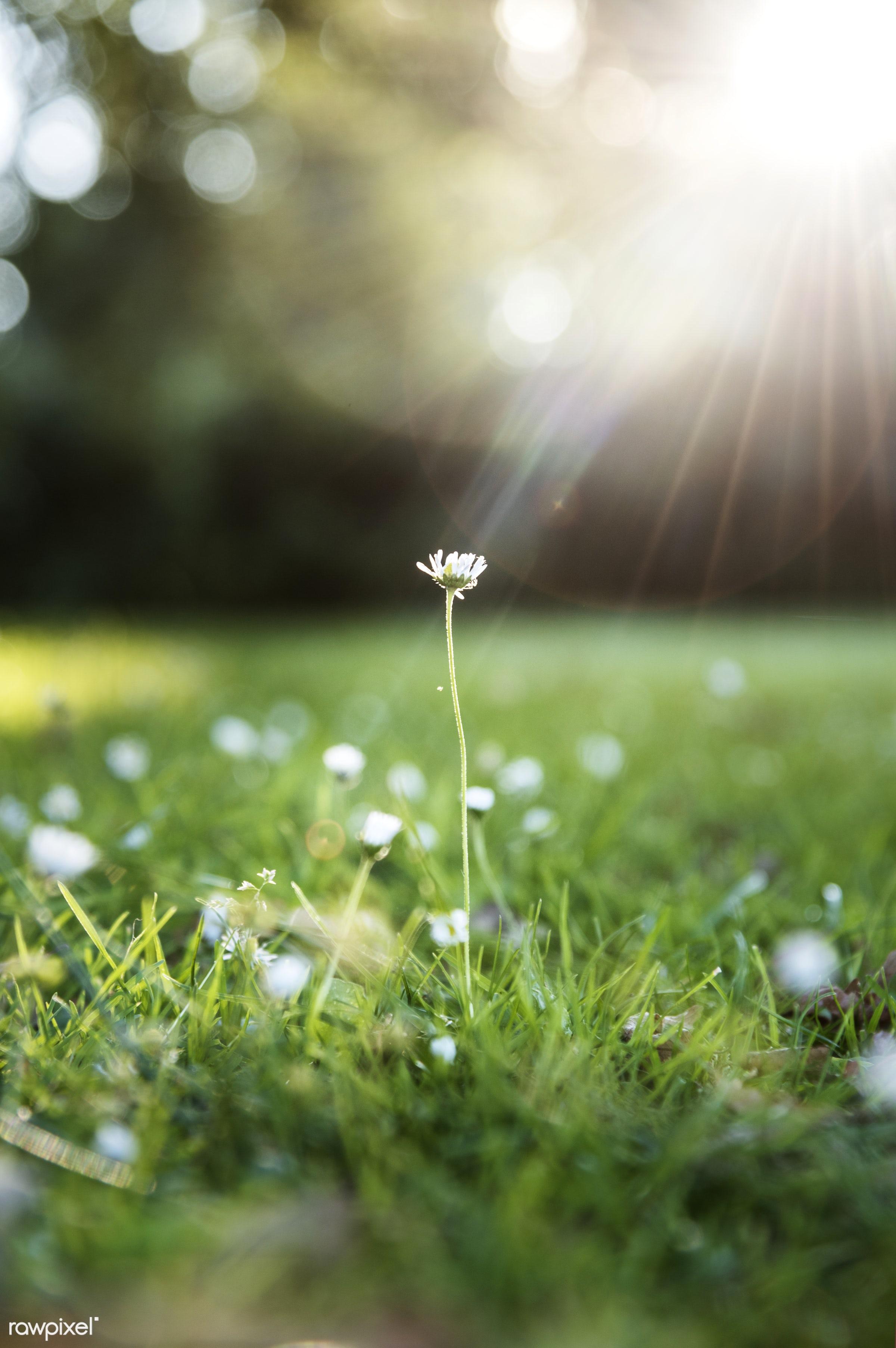 Closeup of grass flower with sun light - bloom, closeup, field, flower, grass, lawn, lights, macro, nature, nobody, yard,...
