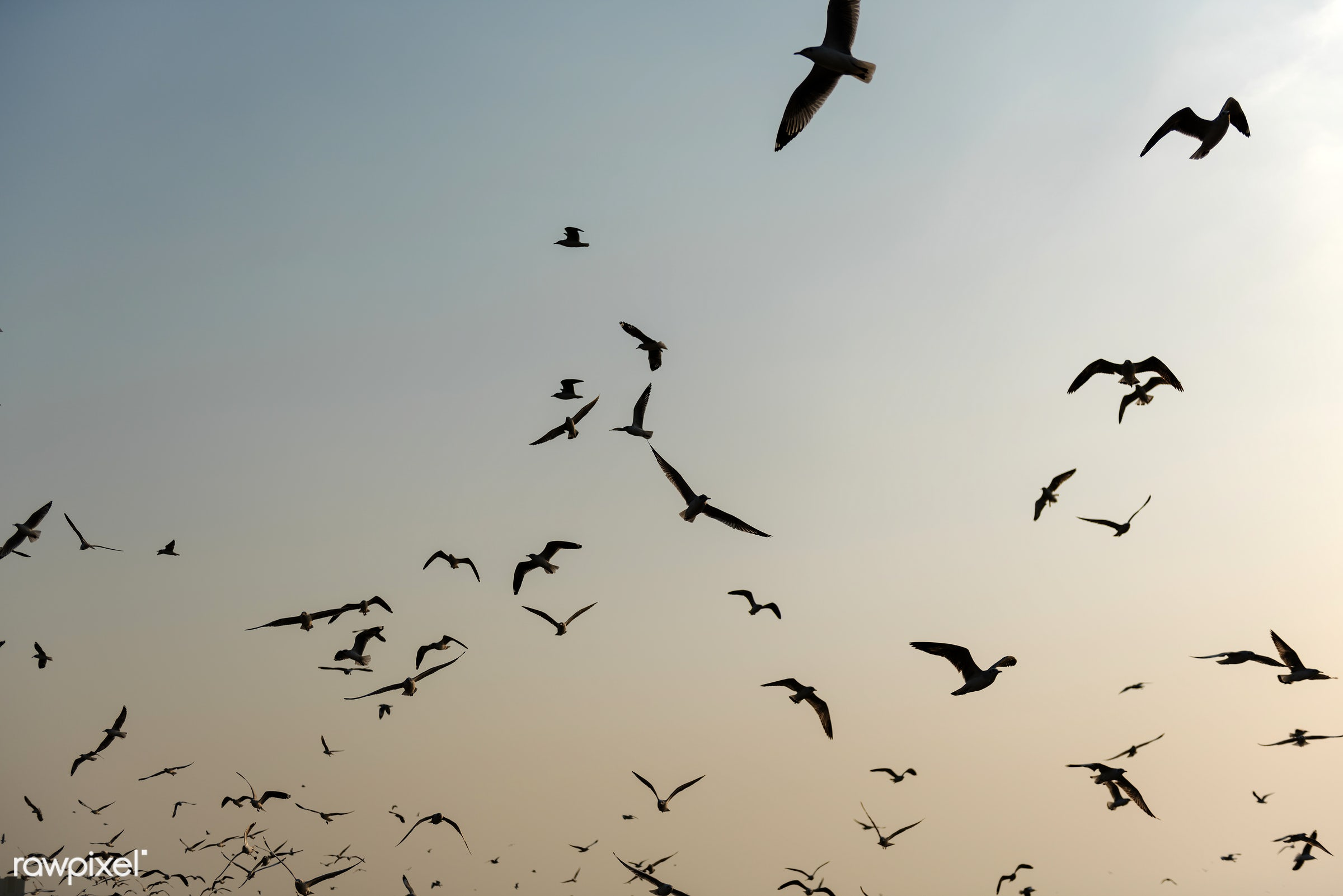 Flying seagulls in the sky - birds, sky, sunset, animal, flying, silhouette, flock, nature, outdoors, seagull