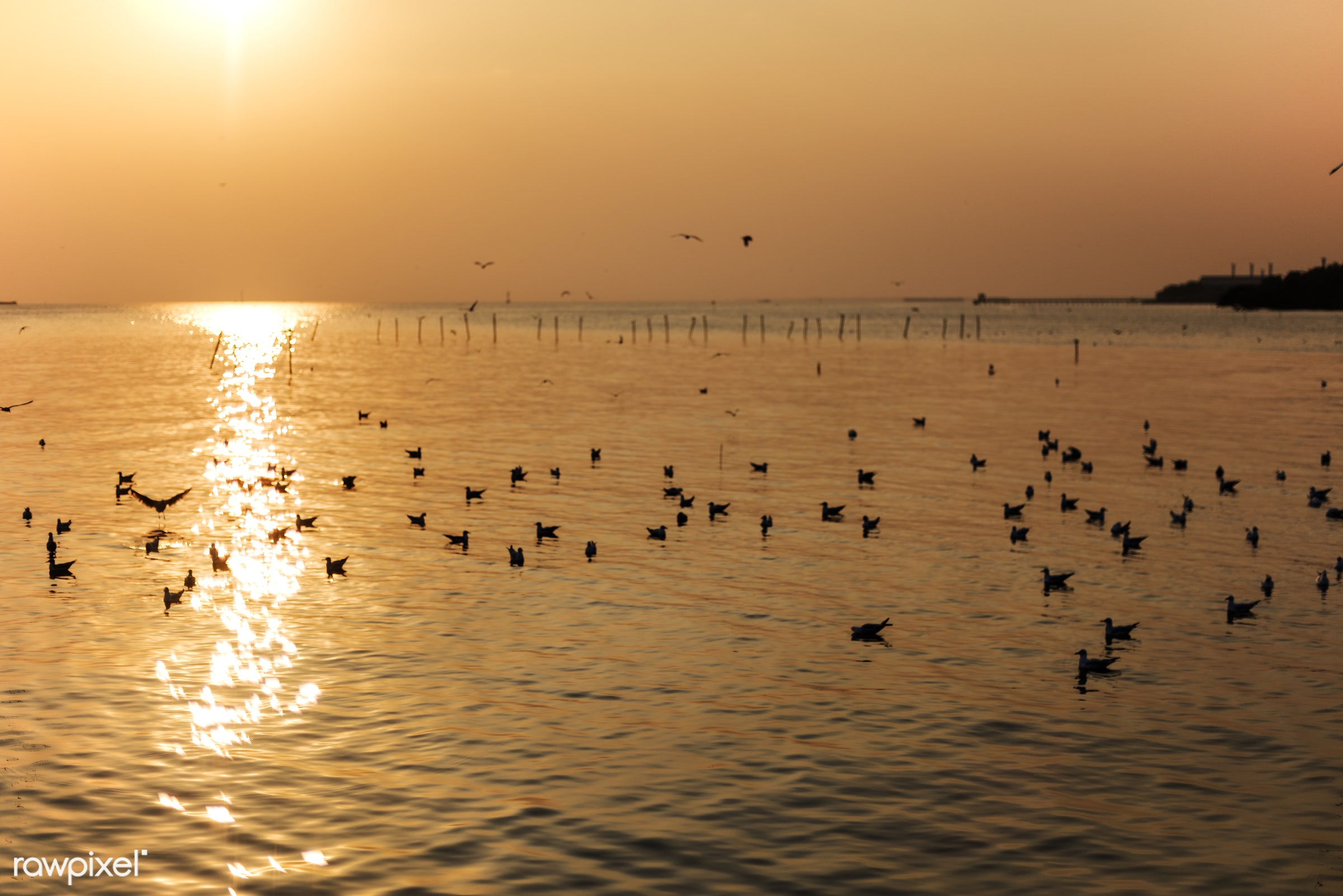 Birds in the water at sunset - birds, sky, sunset, animal, flock, nature, outdoors, seagull, resting, water, sea, ocean