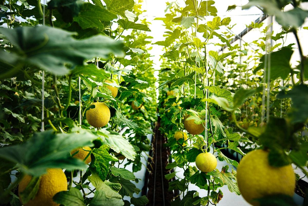 Organic honeydew harvest nature garden