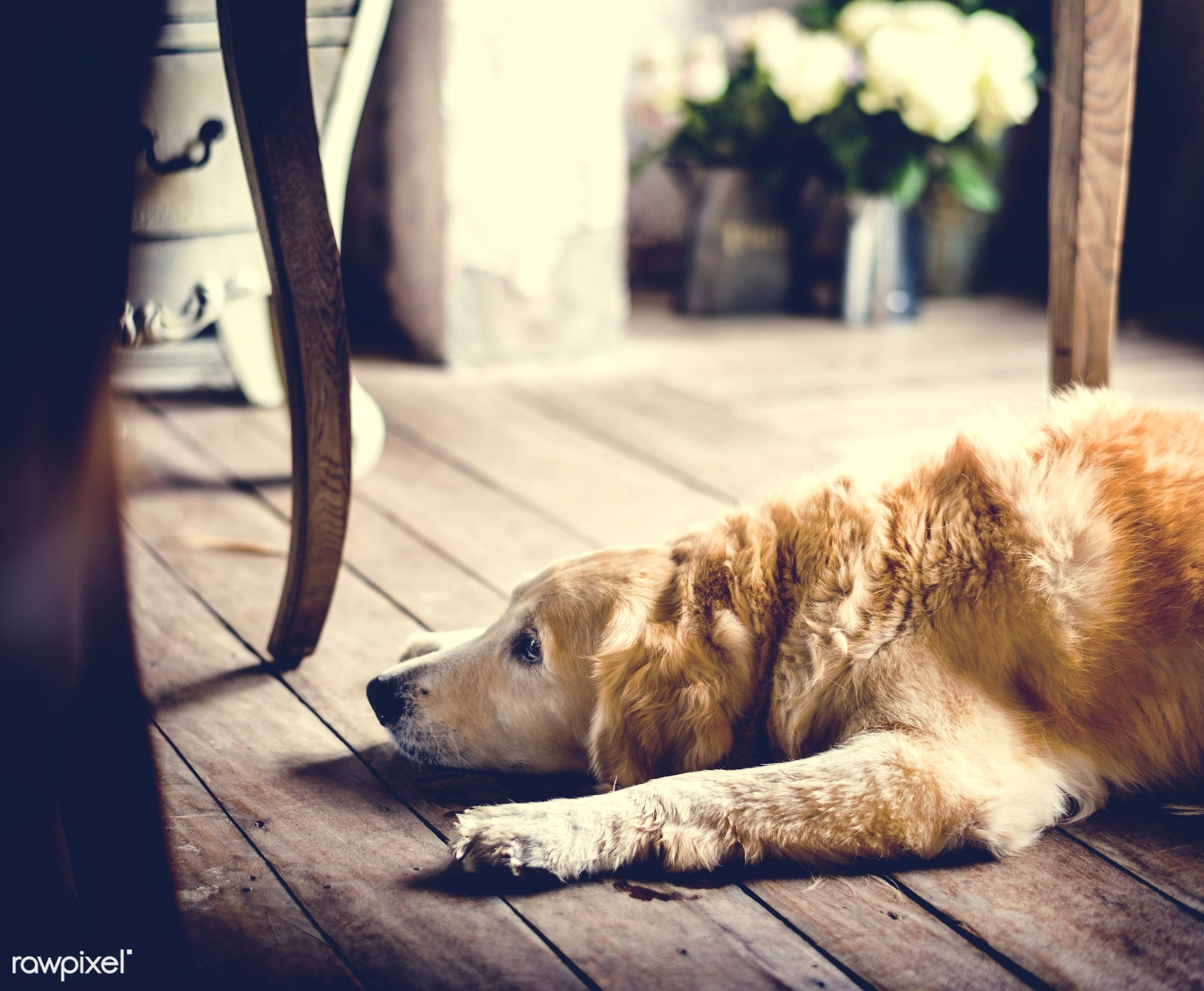 retriever, breed, old, relax, for, wait, house, cute, rustic, alone, cheerful, animal, mammals, waiting, lay, beautiful,...