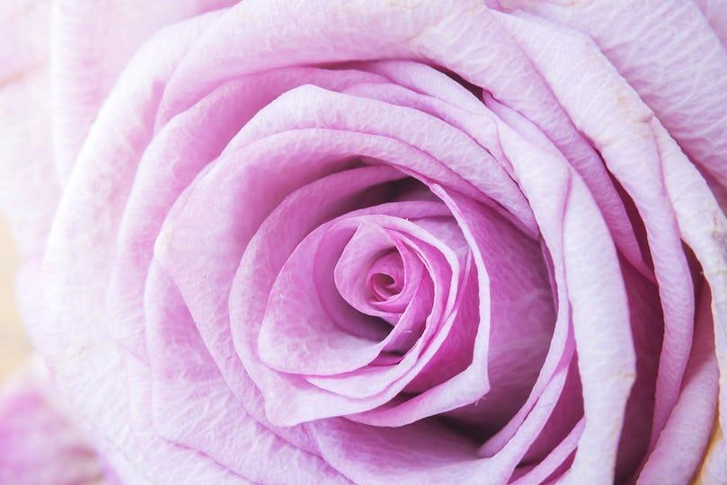 Closeup Pink Rose Flower Background