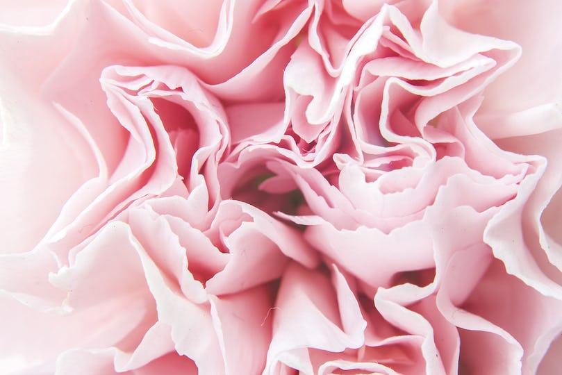 Bloom Pink Carnation Flower Closeup Background