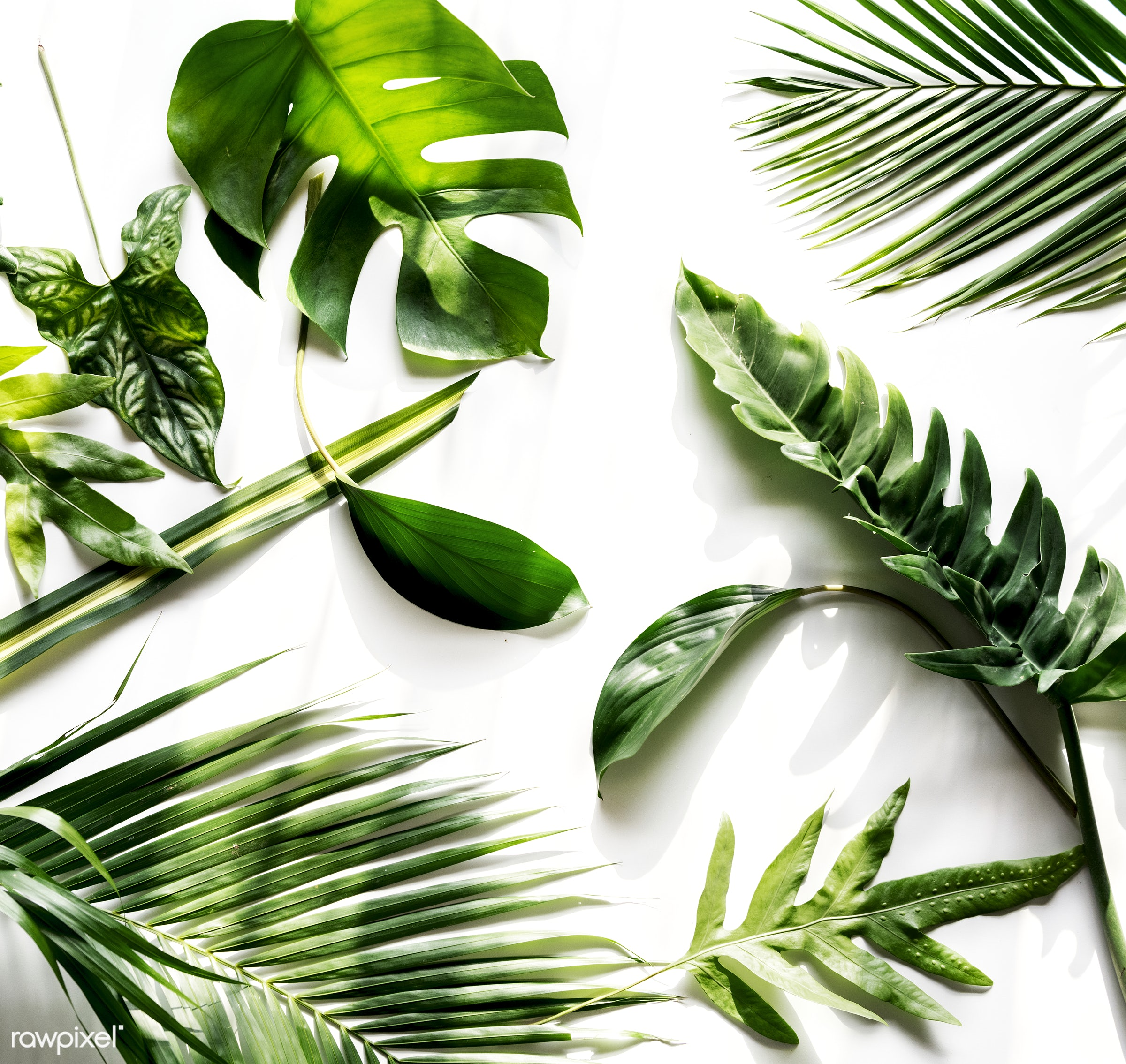 Tropical green leaves on white background - plant, concept, decorative, botany, isolated on white, leaf, leaves, botanical,...