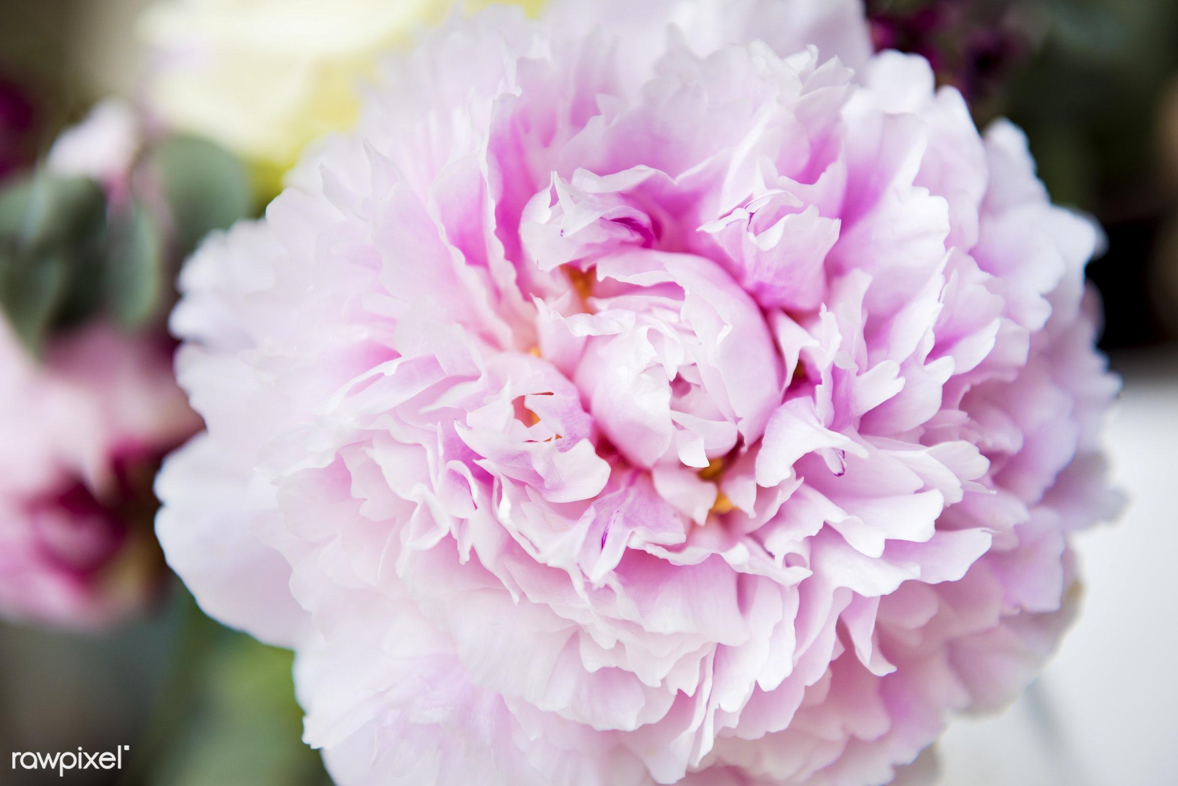 nobody, ackground, petals, flora, texture, carnation, bloom, real, nature, fresh, pink, natural, flower, closeup