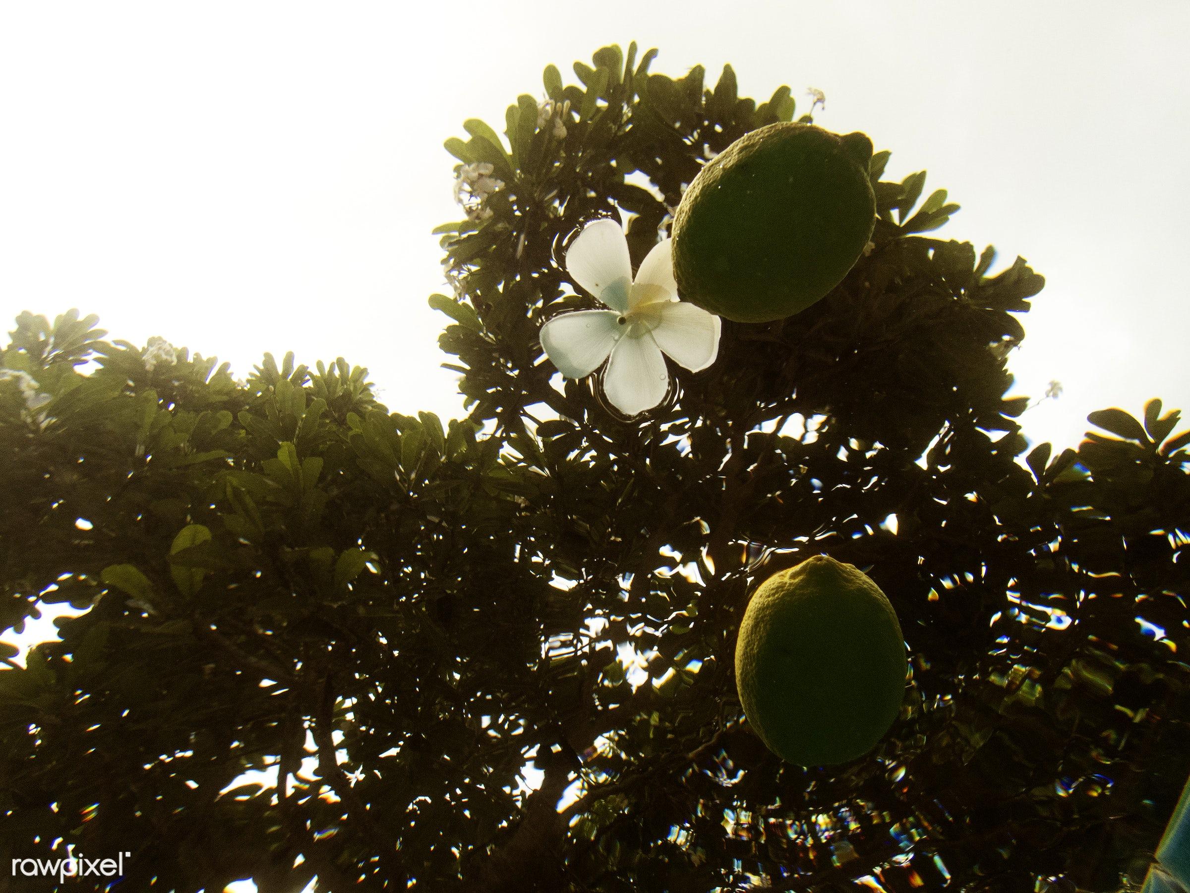 water, plumeria, plant, tree, nature, outdoors, summer, frangipani, flower, lemon