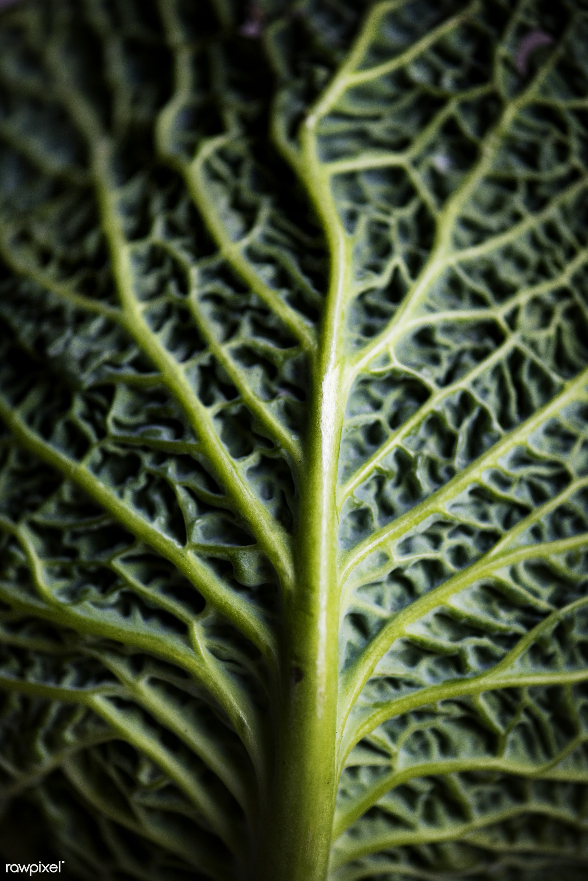 Fresh green cabbage leaf - plant, raw, nobody, leaf, farm, ingredients, nature, fresh, products, closeup, green, agriculture...