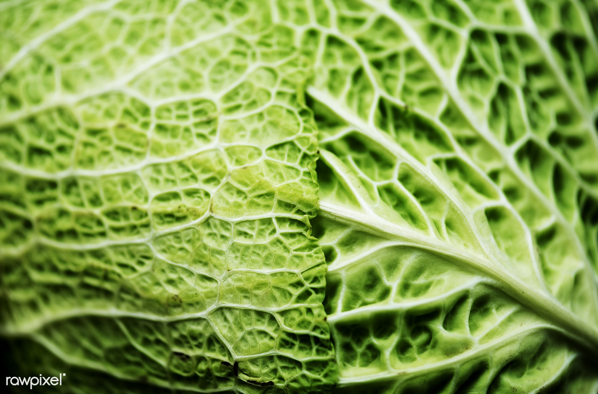 Green cabbage leaf - plant, raw, nobody, leaf, ingredients, farm, nature, fresh, products, closeup, green, agriculture,...
