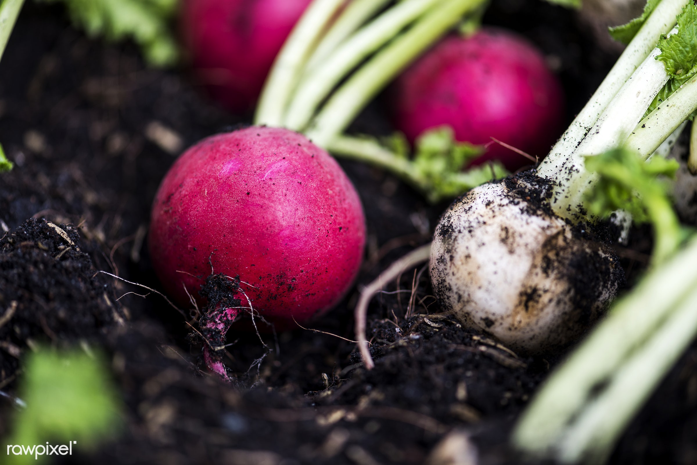 Radishes - raw, nobody, ingredients, farm, nature, fresh, turnip, dirt, products, closeup, white, agriculture, radish,...