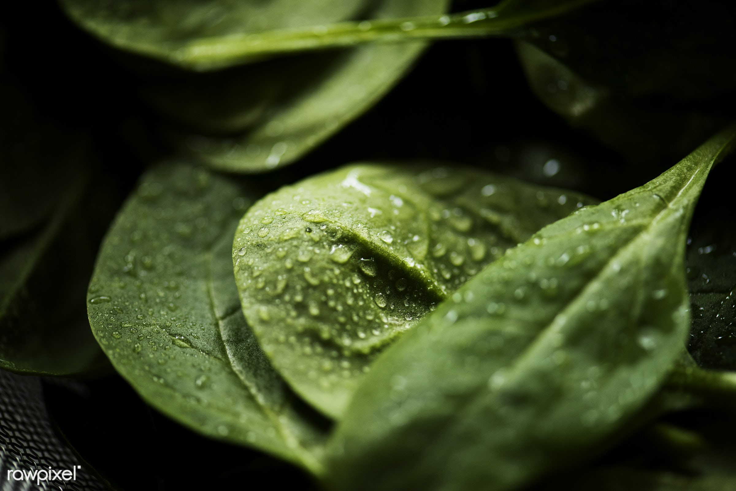 Macro shot of fresh spinach leaves - raw, organic, nature, fresh, textured, healthy, spinach, harvest, vegetable, closeup,...