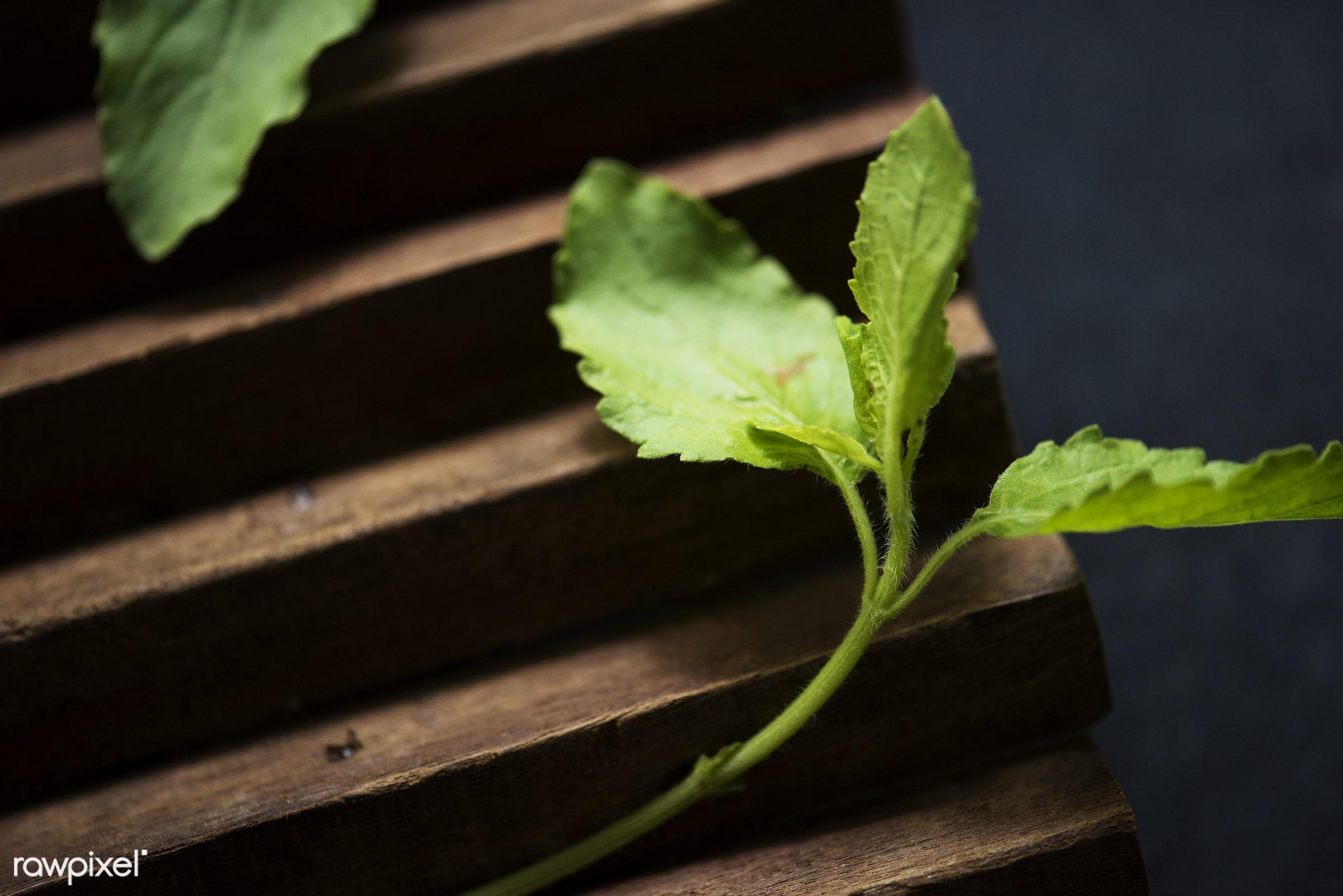 Closeup of fresh thai basil leaves - asian, asian cuisine, background, closeup, fresh, green, herbs, ingredient, leaves,...