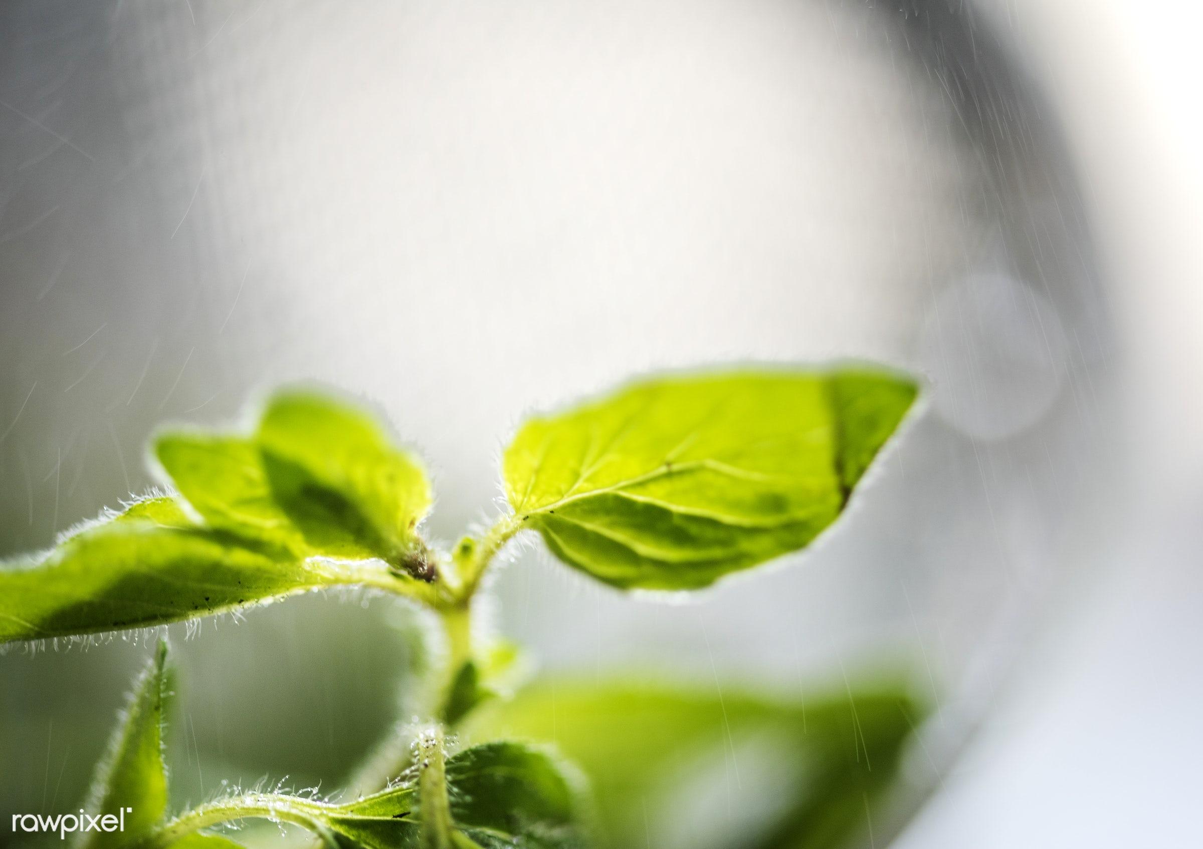 Fresh sweet basil herbs - plant, nobody, herbs, leaves, thai basil, asian, real, asian cuisine, nature, fresh, closeup,...