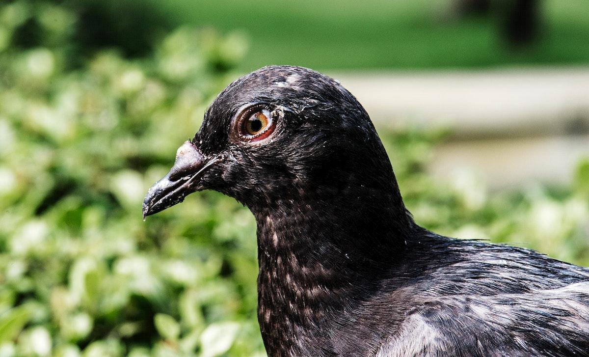 Closeup of black pigean in the park