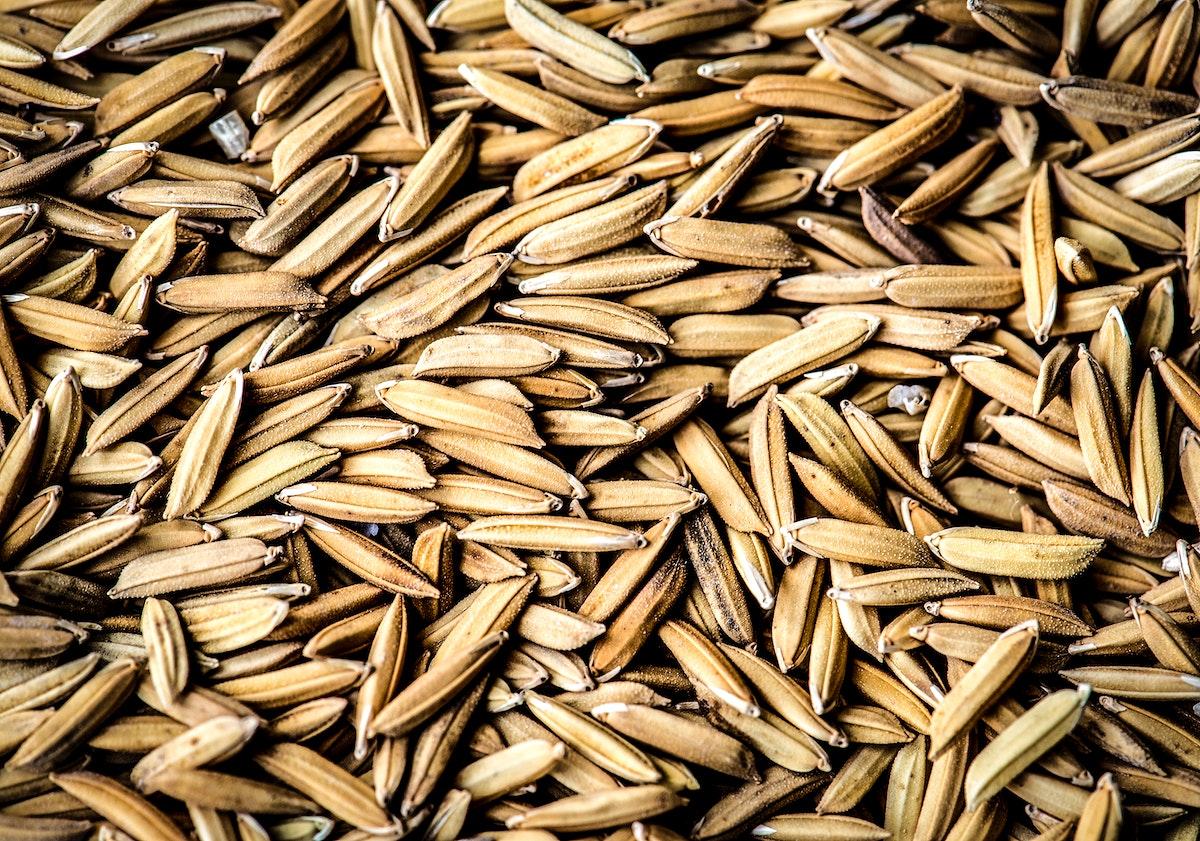 Closeup of unmilled rice grains paddy macro