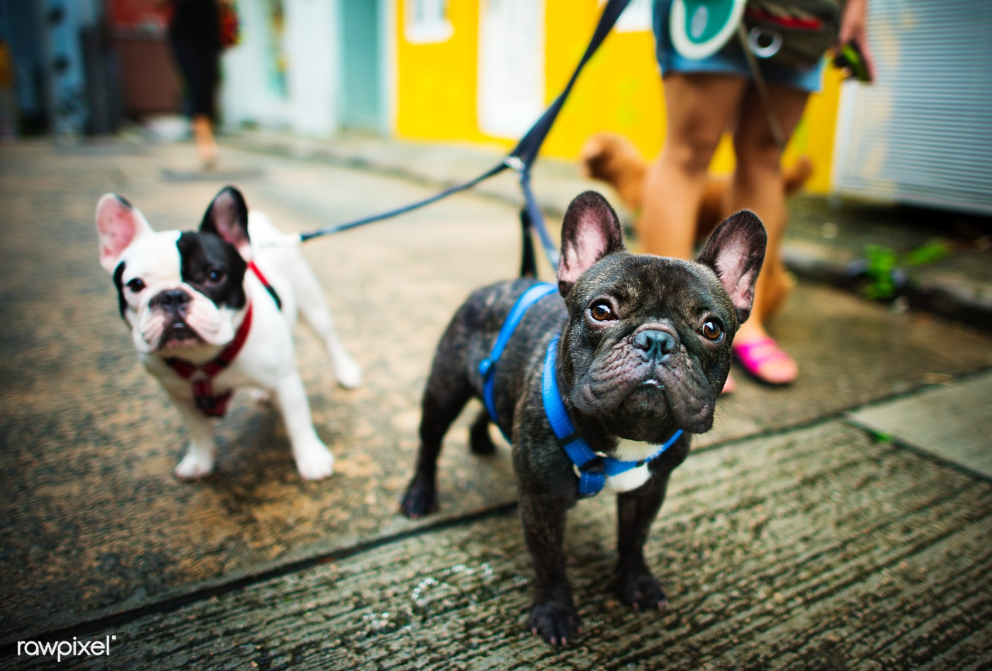 dog, pet, animal, puppy, mammal, frenchie, bulldog, walking, adorable, animals, breed, canine, charming, cute, doggy, french...