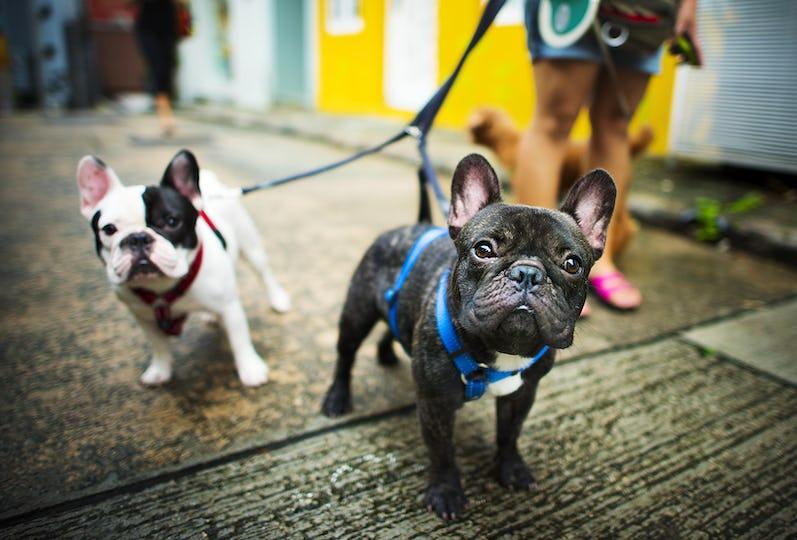 French Bulldog Take a Walk Lovely Pet Animal Concept