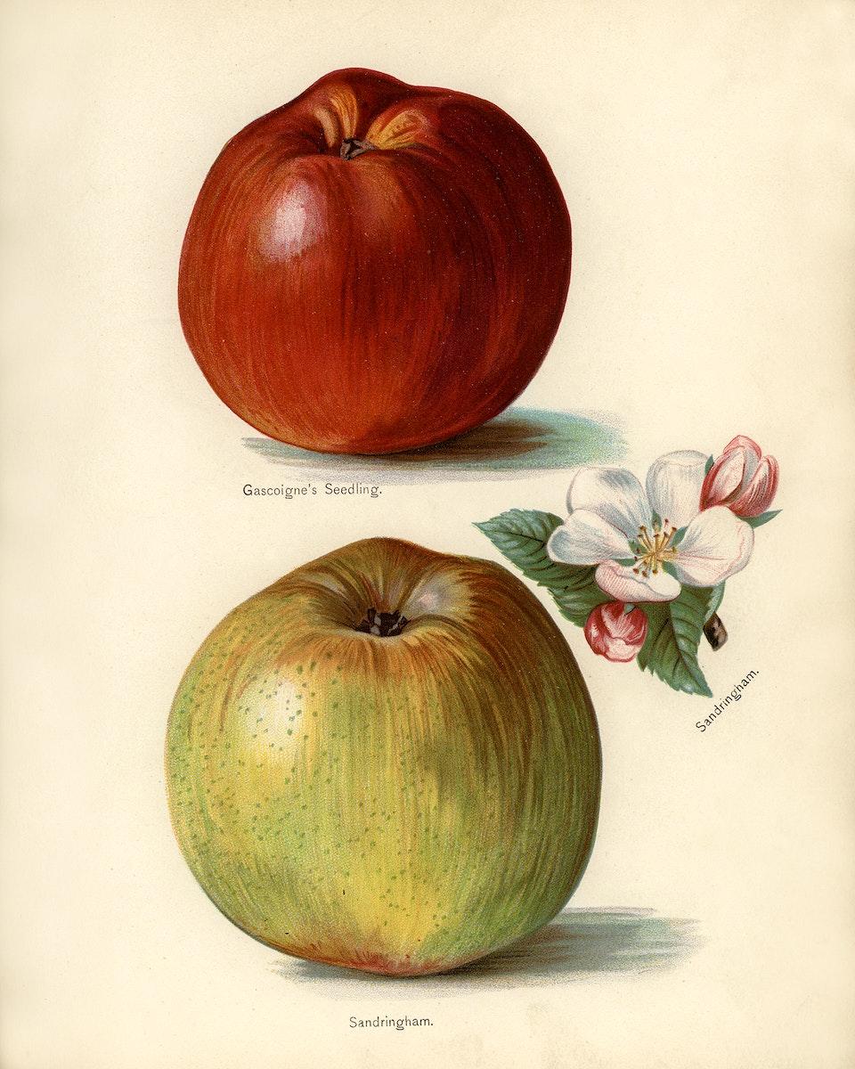 Vintage illustration of gascoigne's seedling, sandringham apples digitally enhanced from our own vintage edition of The Fruit…