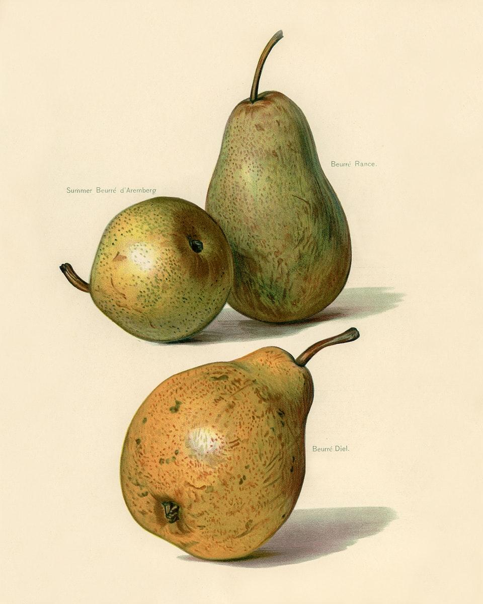 Vintage illustration of beurre dance, beurre diel, summer beurre d' aremberg pears digitally enhanced from our own vintage…