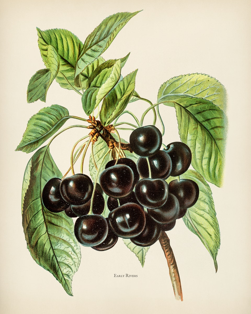 The fruit grower's guide : Vintage illustration of early rivers cherries