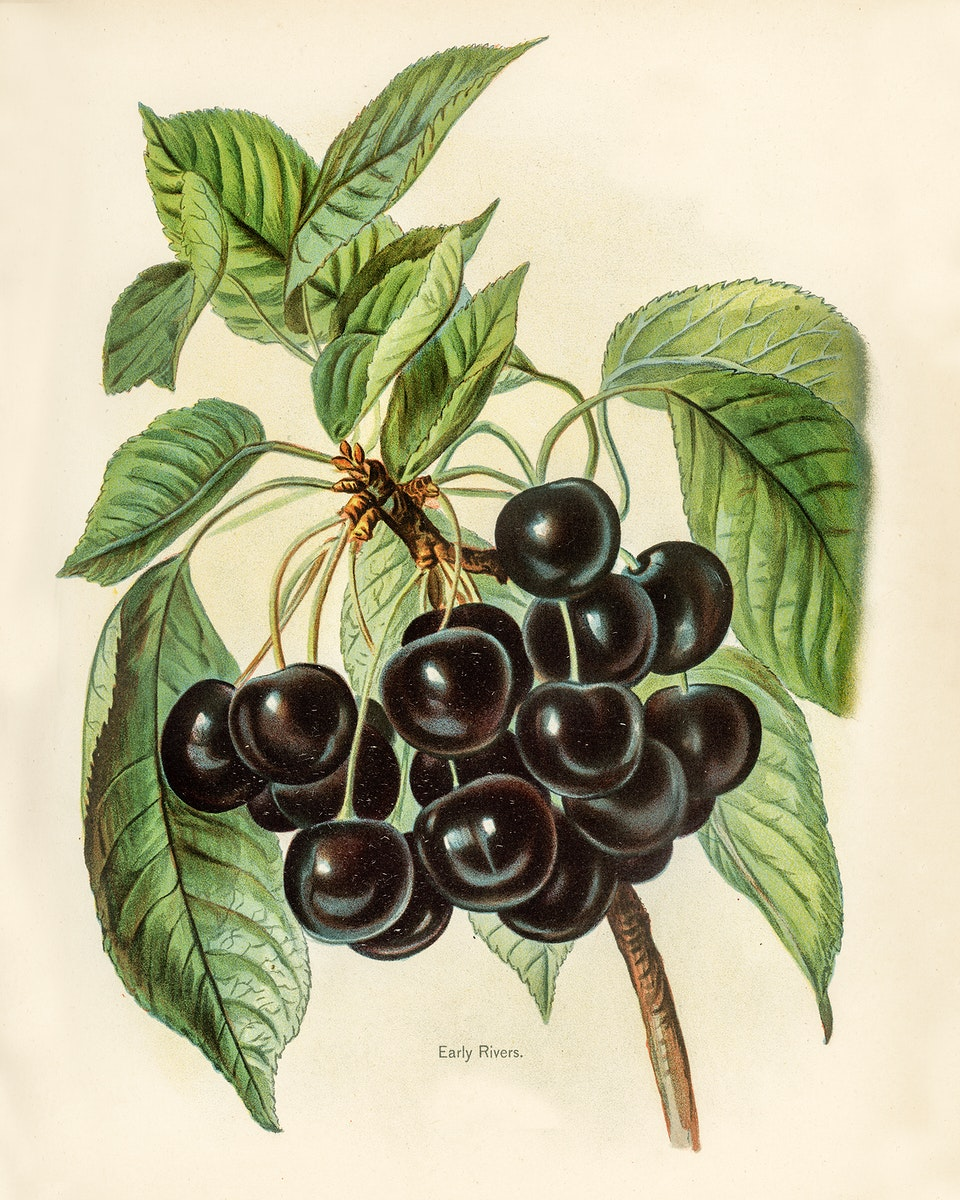 Vintage illustration of early rivers cherries digitally enhanced from our own vintage edition of The Fruit Grower's Guide…