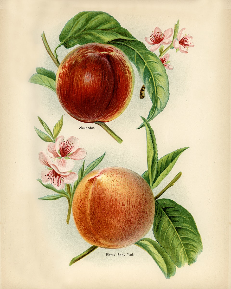 Vintage illustration of alexander, rivers' early york nectarines digitally enhanced from our own vintage edition of The Fruit…