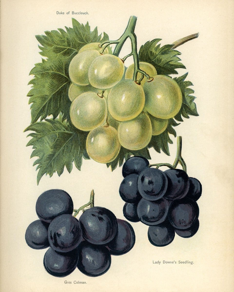The fruit grower's guide : Vintage illustration of grapes